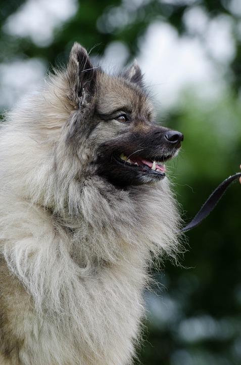 Голландский Волчий Шпиц