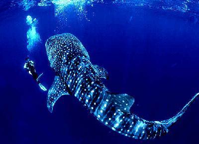 Акула китовая фото. Rhincodon typus