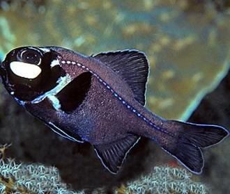 Фонареглазовые фото. Anomalopidae