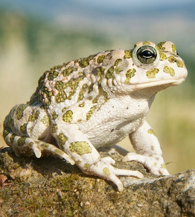 Жаба зеленая фото. Bufotes viridis