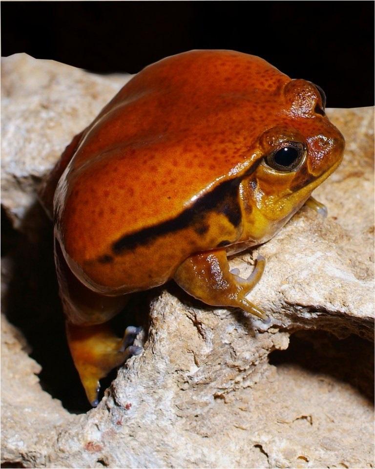 Лягушка-помидор фото. Dyscophus antongilii