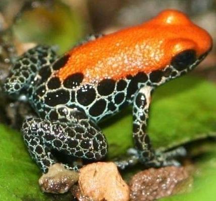 Пятнистая лягушка фото. Rana pretiosa
