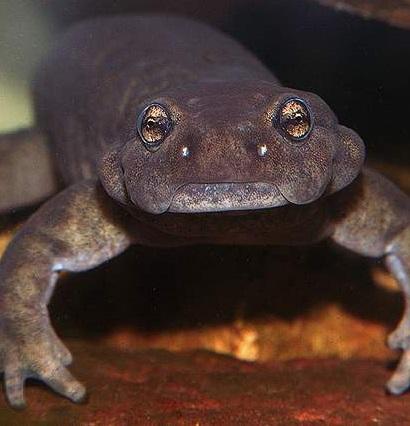 Семиреченский лягушкозуб фото. Ranodon sibiricus