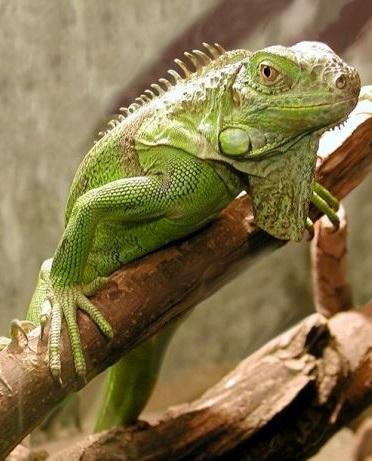 Обыкновенная игуана фото. Iguana iguana