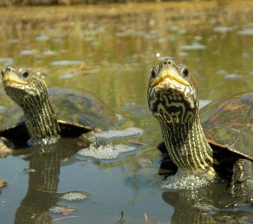 Каспийская черепаха фото. Mauremys caspica