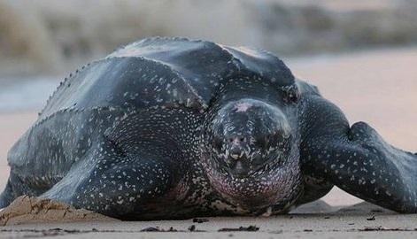 Кожистая черепаха фото. Dermochelys coriacea