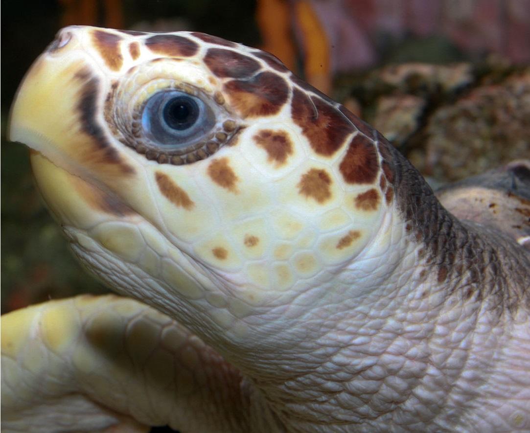 Черепаха головастая