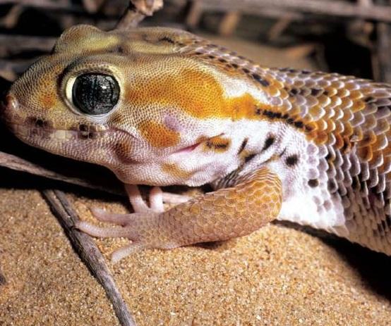 Пискливый геккончик фото. Alsophylax pipiens