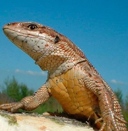 Живородящая ящерица фото. Zootoca vivipara