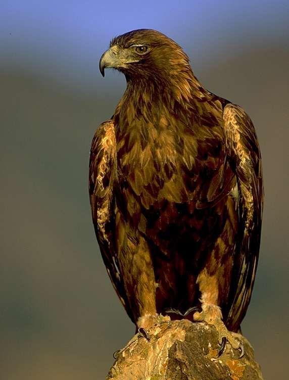 Беркут фото. Aquila chrysaetus