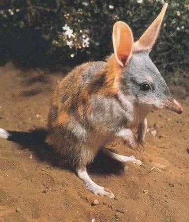 Бандикут Австралийский