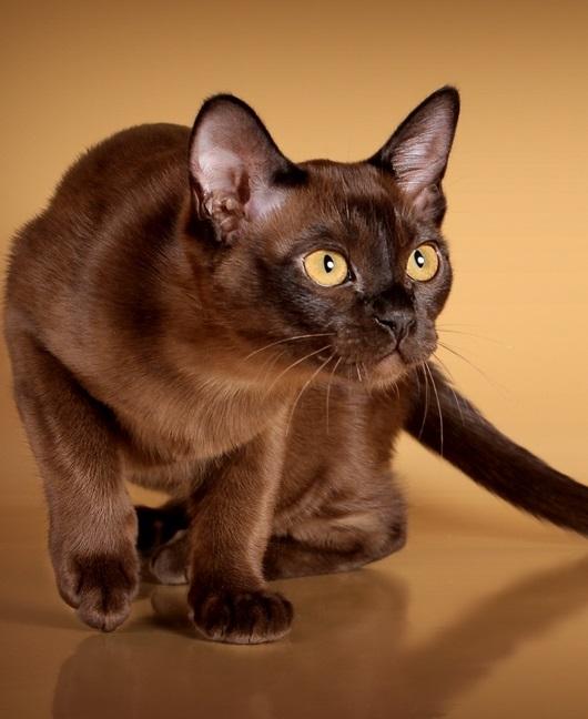Бурманская короткошёрстная кошка фото