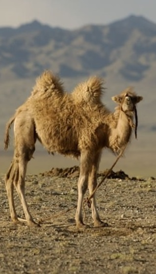 Верблюд двугорбый фото. Camelus bactrianus