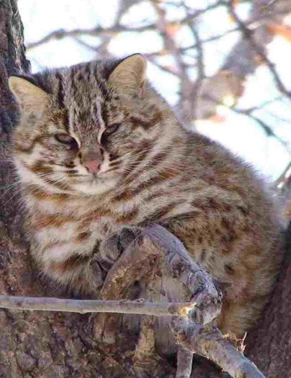 Лесная кошка фото. Felis silvestris