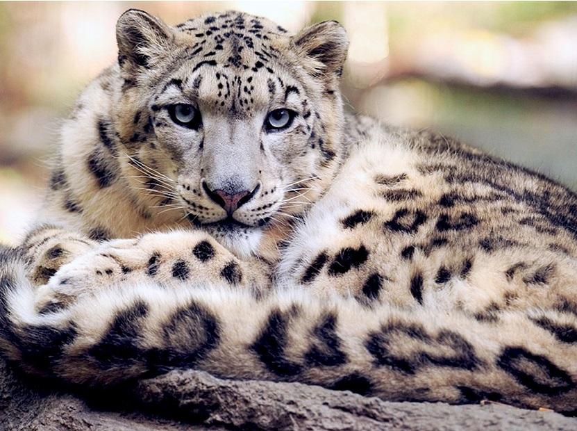 Снежный барс (Ирбис) фото. Panthera uncia