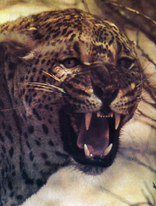Леопард фото. Panthera pardus