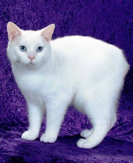 Мэнская кошка фото