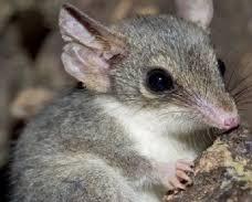 Гребнехвостые сумчатые мыши фото. Dasycercus