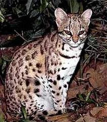 Онцилла фото. Leopardus tigrinus