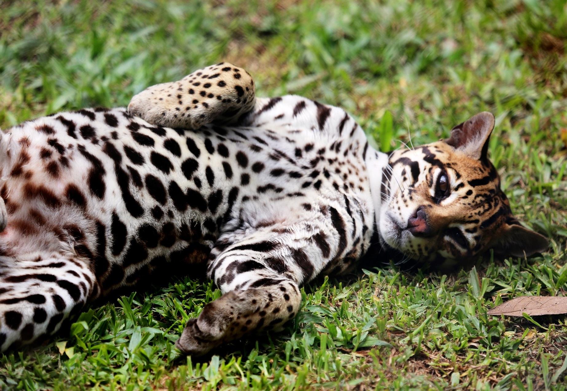 Оцелот фото. Leopardus pardalis