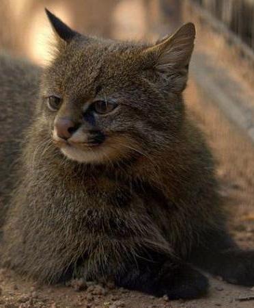 Пампасская кошка фото. Leopardus colocolo