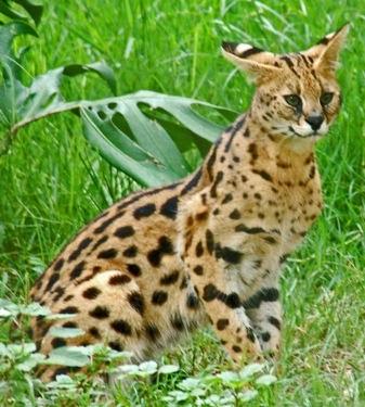Сервал фото. Leptailurus serval