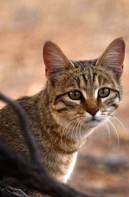 Степная кошка фото. Felis silvestris lybica