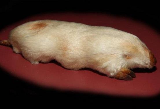 Сумчатые кроты фото. Notoryctes
