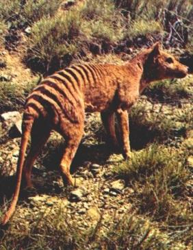 Тасманийский волк фото. Thylacinus cynocephalus