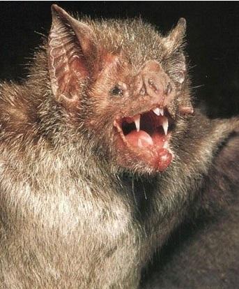 Вампировые летучие мыши