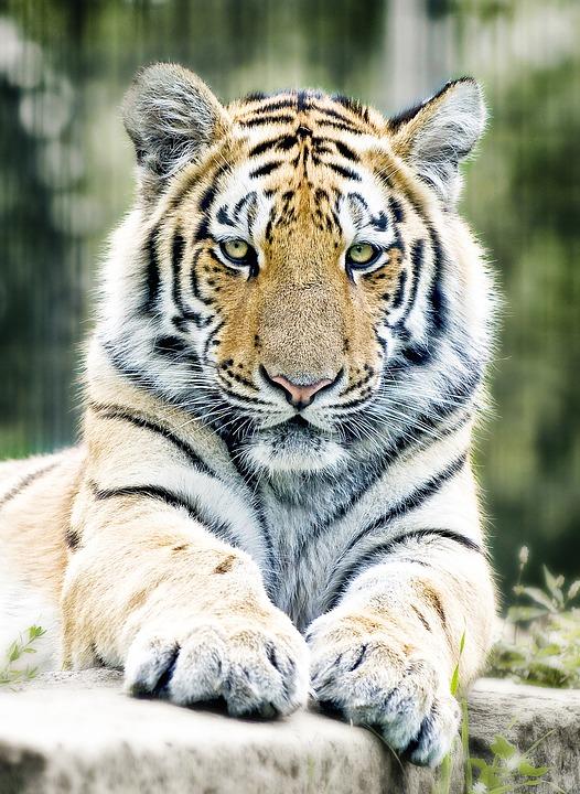 Тигр фото. Panthera tigris