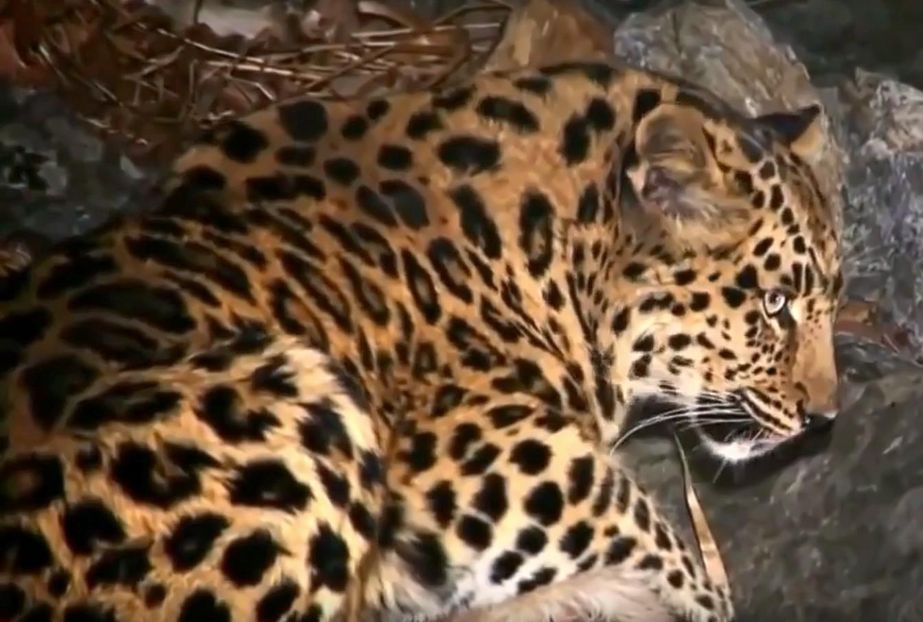 Переднеазиатский и дальневосточный леопарды фото.Panthera pardus ciscaucasica и Panthera pardus orientalis