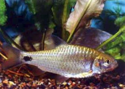 Краснощекий барбус фото. Barbus orphoides