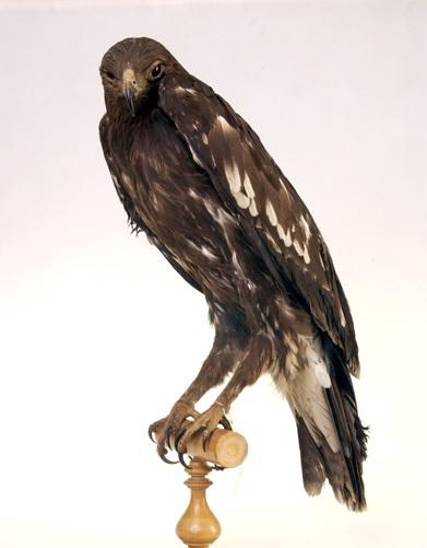 Большой подорлик фото.Aquila clanga