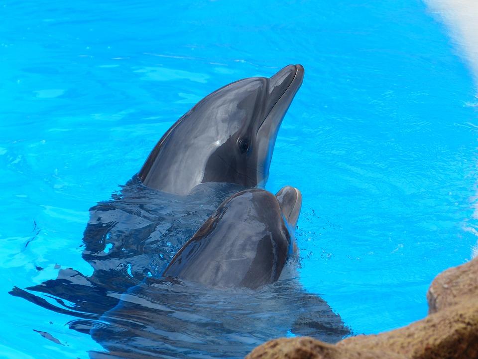 Черноморская афалина, большой дельфин или бутылконосый дельфин фото.Tursiops truncatus