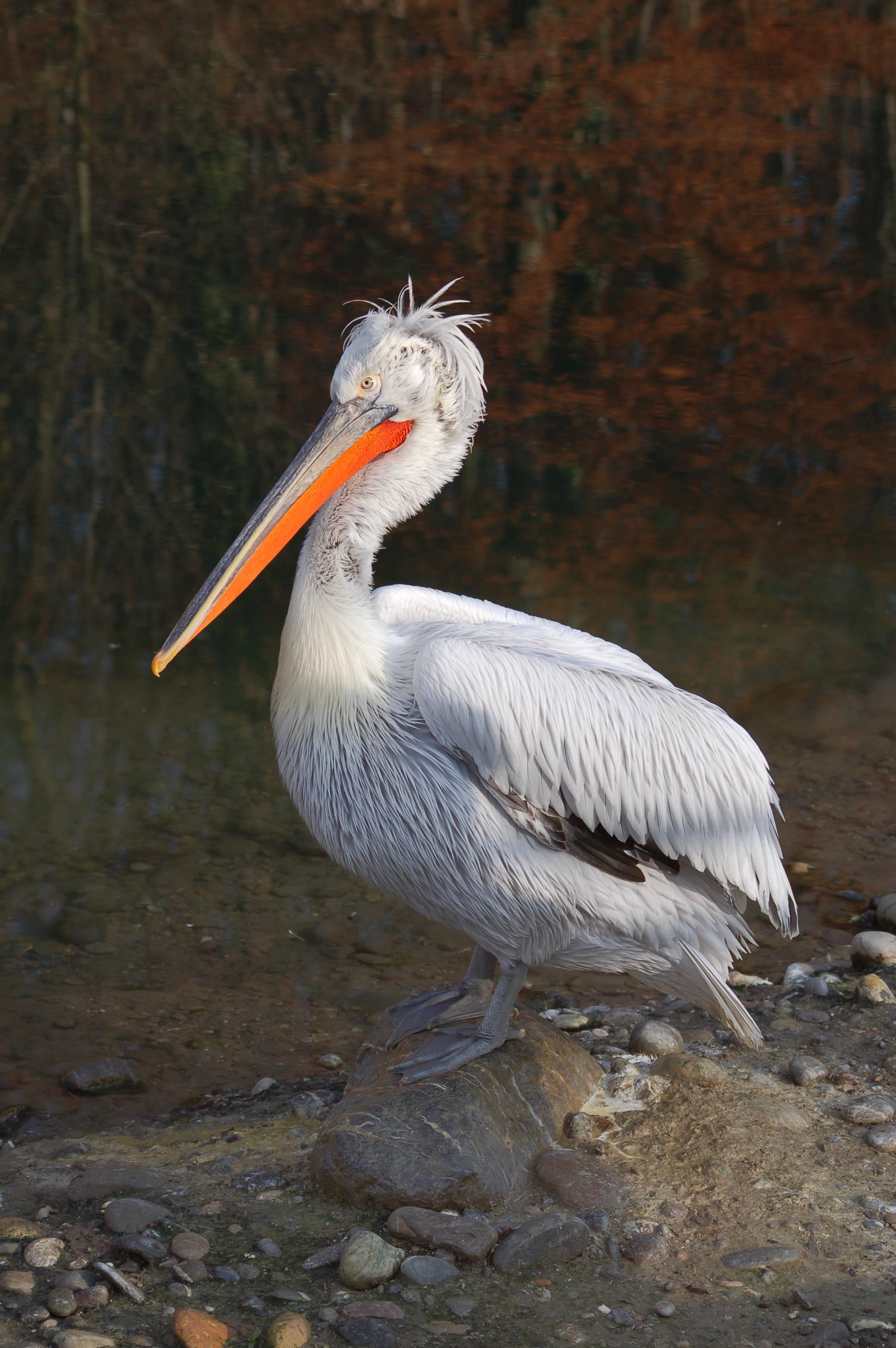 Египетская цапля фото.Bubulcus ibis