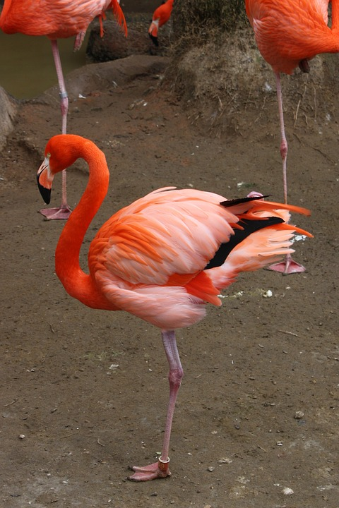 Обыкновенный фламинго или розовый фламинго фото.Phoenicopterus roseus