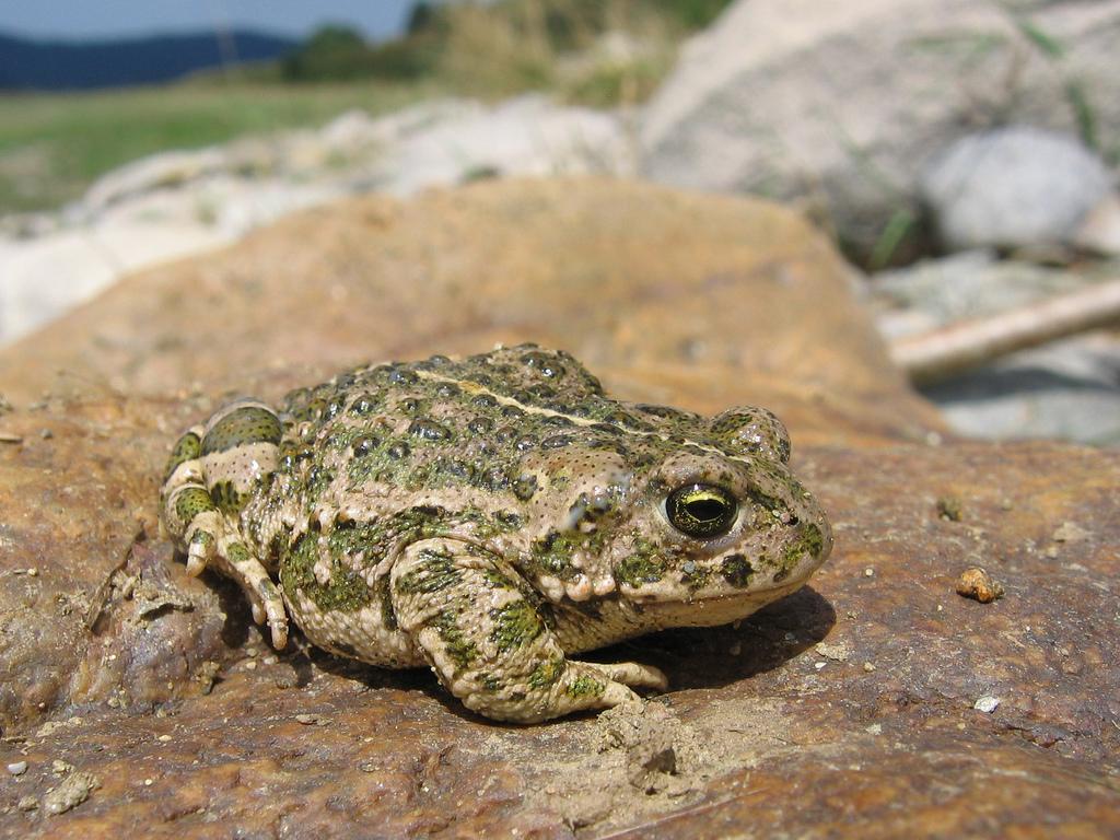 Камышовая жаба фото. Bufo calamita