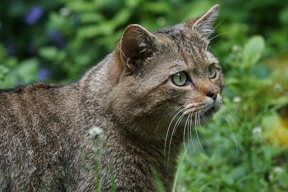 Кавказская лесная кошка фото. Felis silvestris caucasica