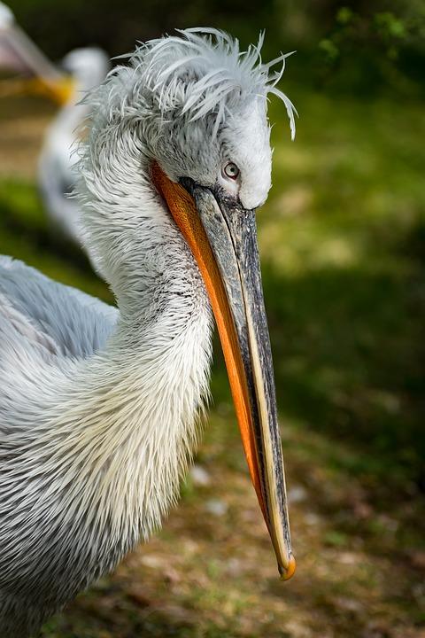 Кудрявый пеликан фото. Pelecanus crispus