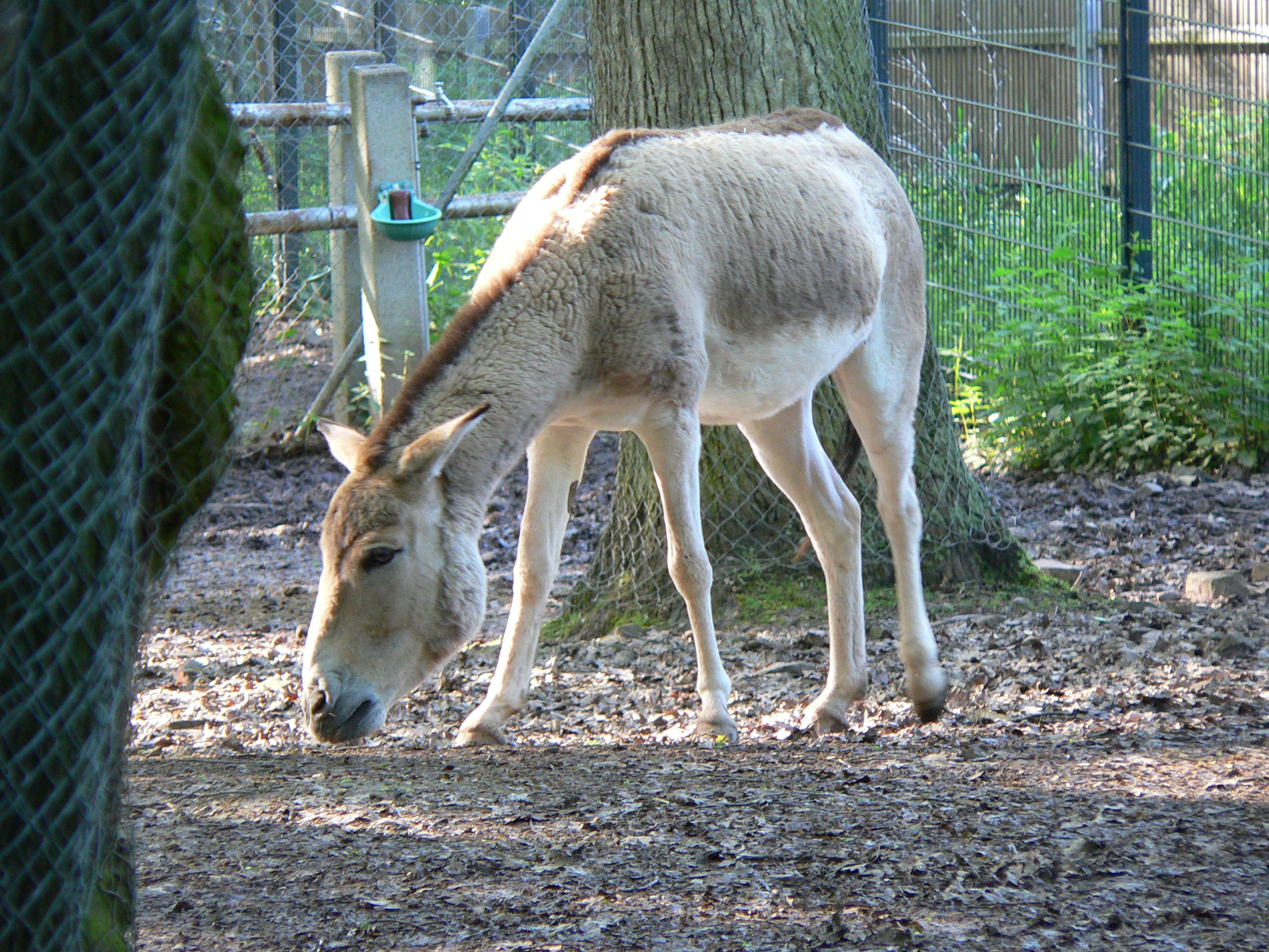 Кулан фото. Equus hemionus