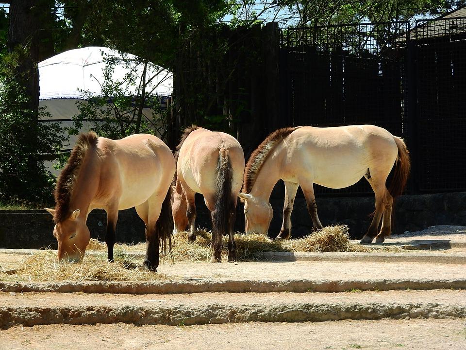 Лошадь пржевальского фото. Equus przewalskii caballus