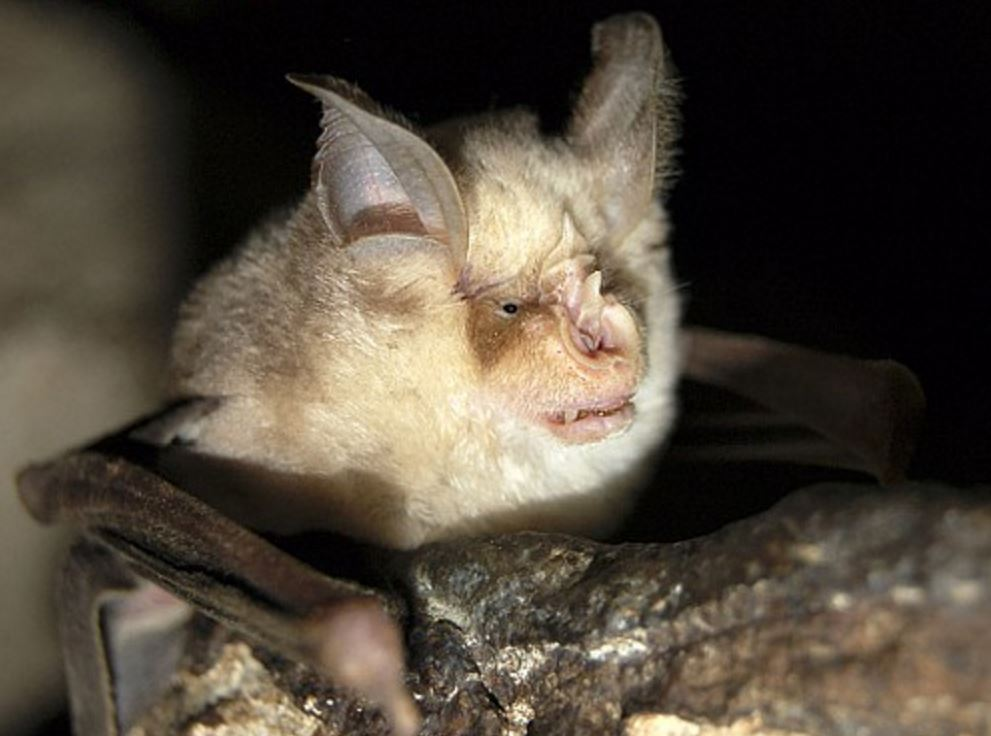 Подковонос Мегели фото. Rhinolophus mehelyi