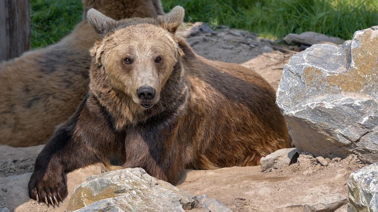 Бурый медведь фото. Ursus arctos