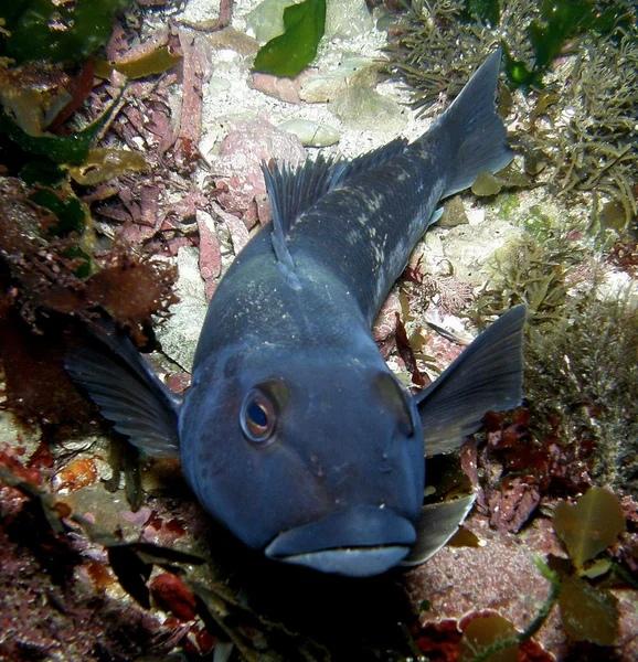 Голубая треска фото. Parapercis colias
