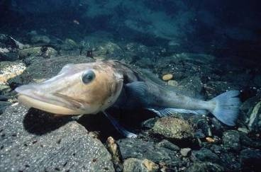 Ледяная рыба фото. Champsocephalus gunnari