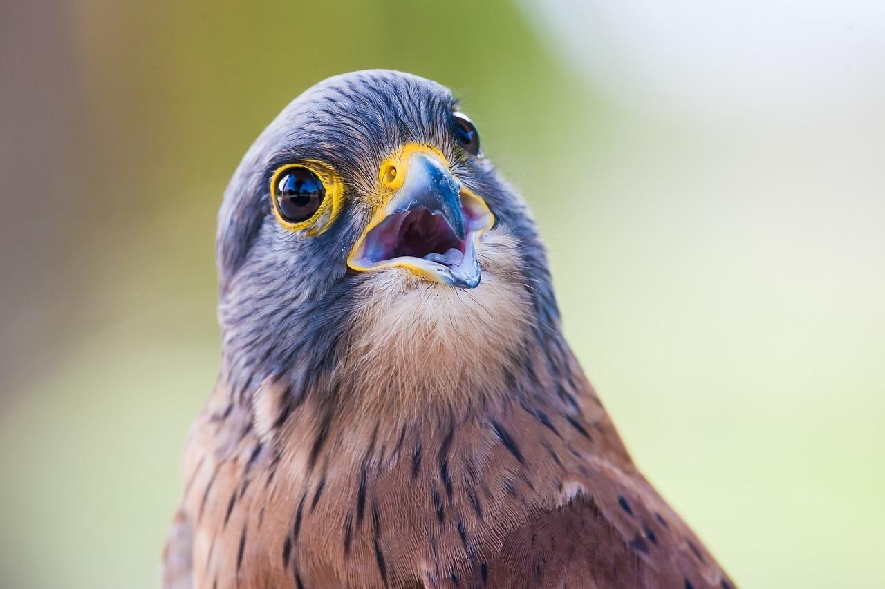 Пустельга фото. Falco tinnunculus