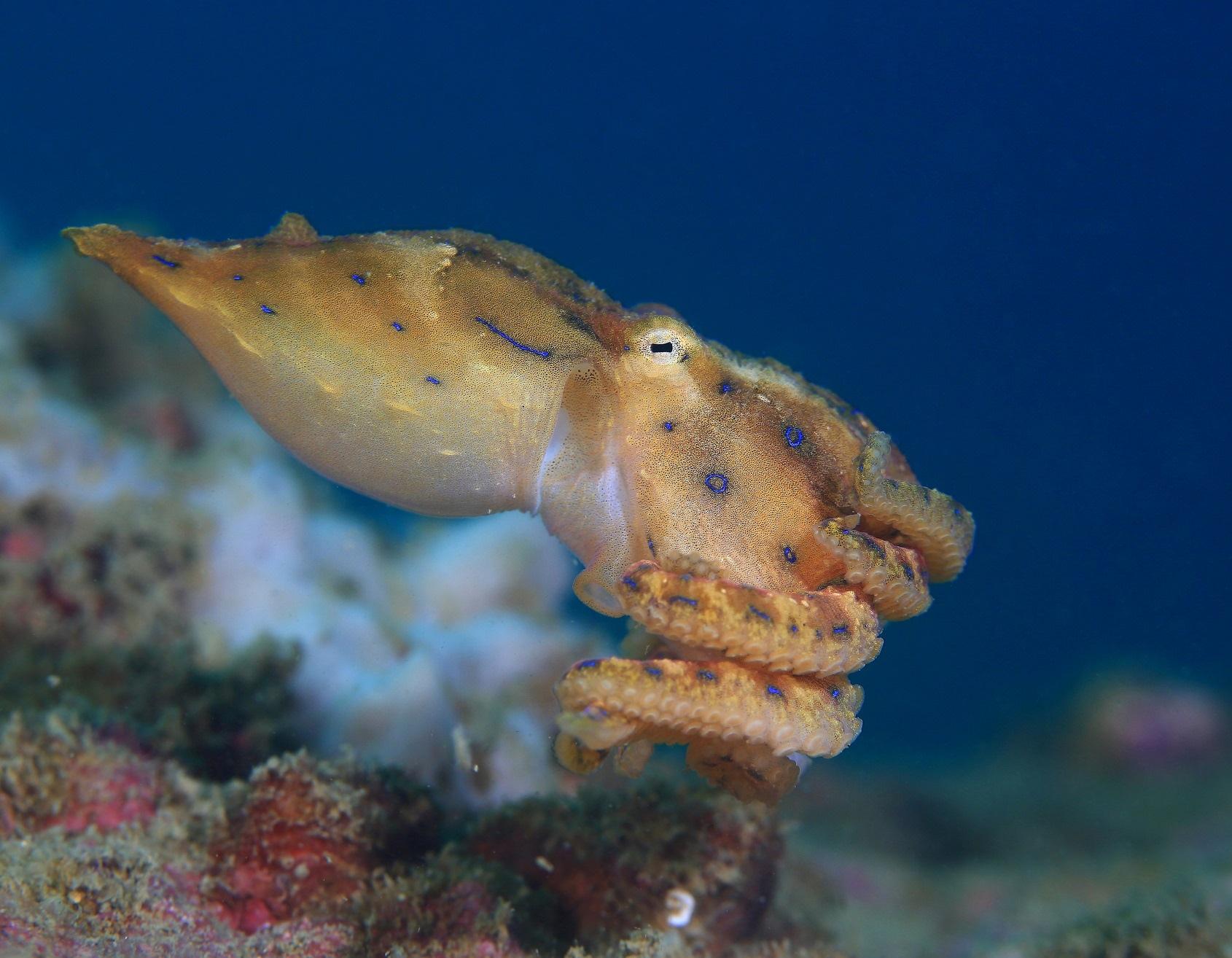 Синекольчатый осьминог фото. Hapalochlaena