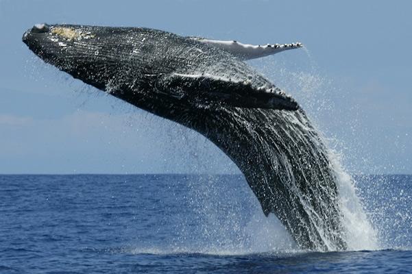 Синий кит фото. Balaenoptera musculus