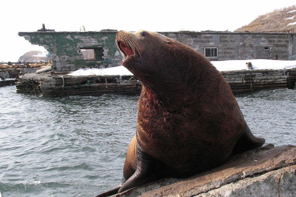 Сивуч (Северный морской лев) фото. Eumetopias jubatus